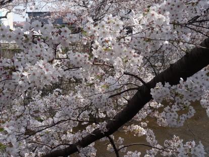 sakura river 1.JPG
