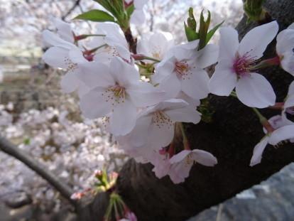 sakura river 4.JPG