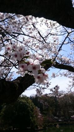 sakuraike2.JPG