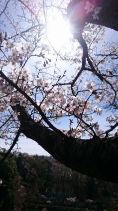 sakuraike3.JPG