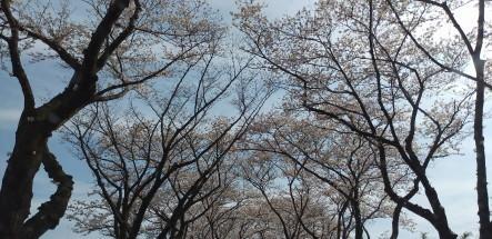 sakurakaidou1.JPG