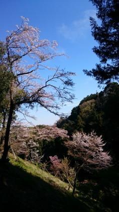 someiyoshino1.JPG